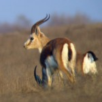 goitred-gazelle